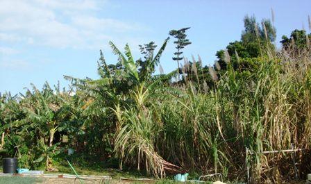 バナナ畑とサトウキビ畑