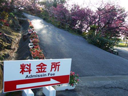 中城の寒緋桜