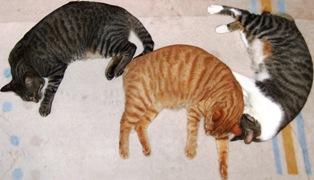 勾玉のカッコして寝ている三匹の猫
