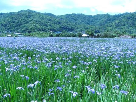 「オクラレルカ」の水田