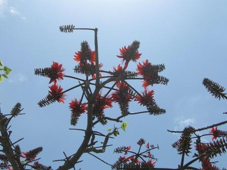 枝振りがおもしろいデイゴの樹
