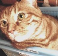 起き出した猫(モルツ)