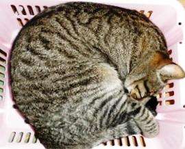 眠る猫(ごま)