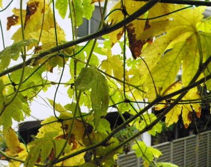 黄色くなったゴーヤーの葉その2