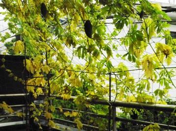 黄色くなったゴーヤーの葉